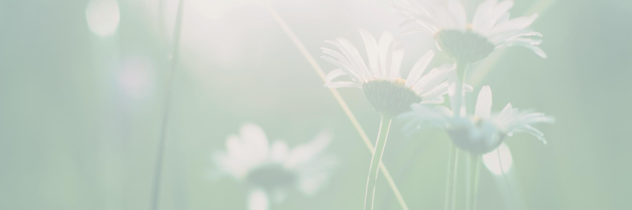 daisies header@2x-80